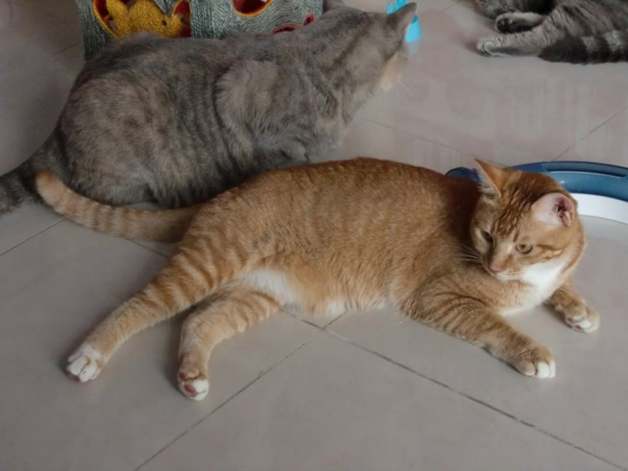 阿大是一隻橘貓,是尋常的唐貓色樣,但與身後的英短同樣得到Cannis的寵愛。(受訪者提供)