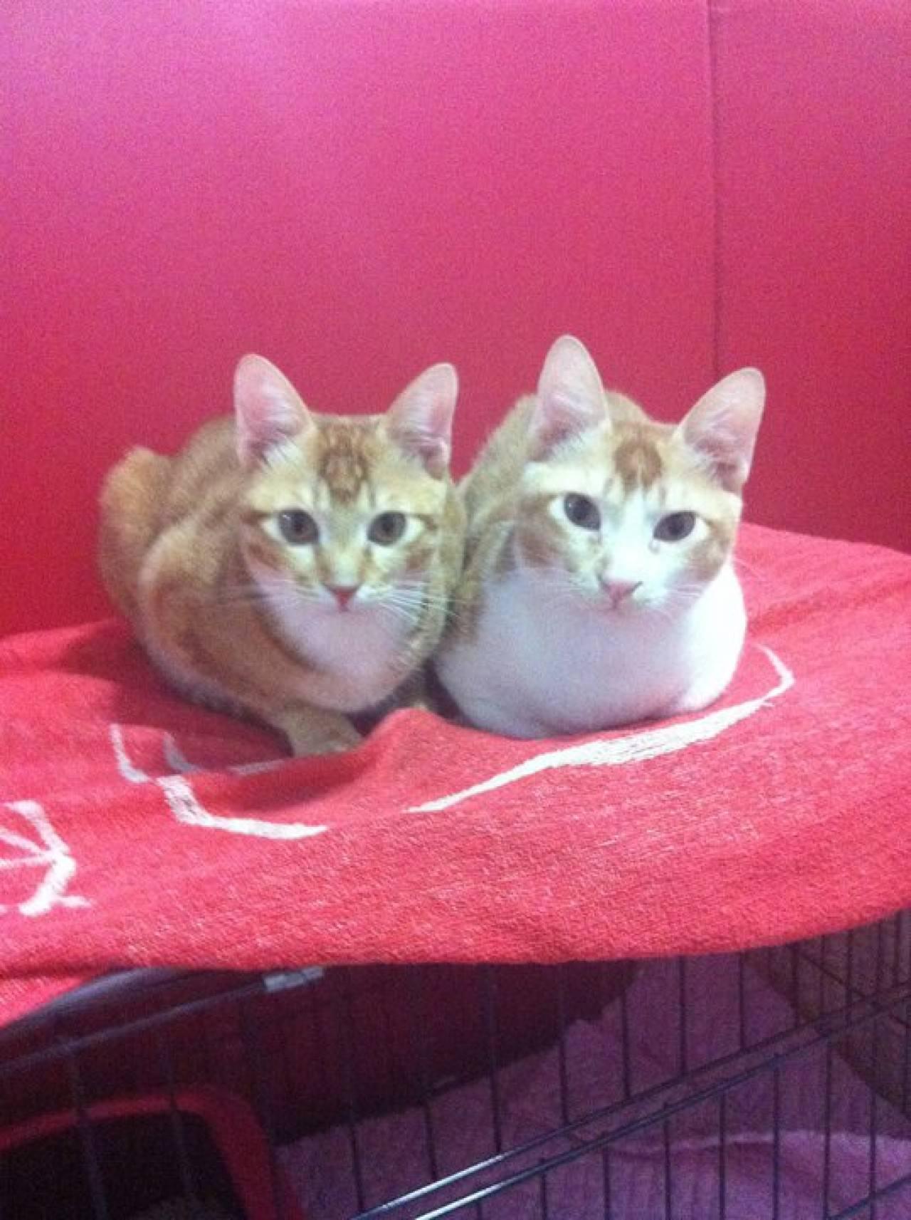 其後入屋的阿大(右)與阿二(左),同是橘貓一族。(受訪者提供)