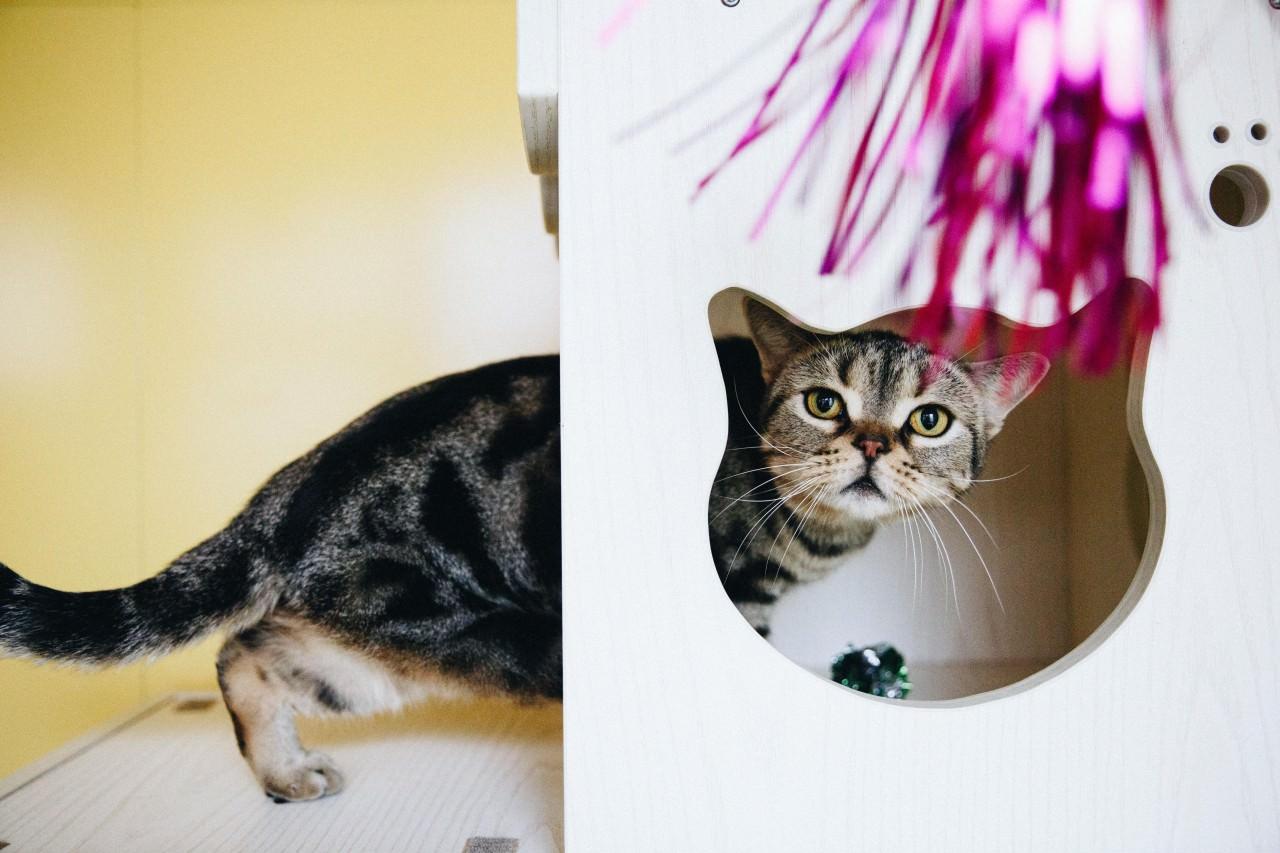 可可與米米非常好動,也愛玩帶閃條的逗貓棒。