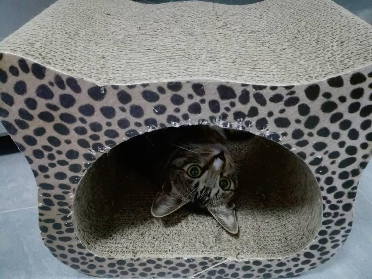 最後入屋的第十位主子,是遭遺棄在屋苑花叢中的唐貓醜醜。(受訪者提供)